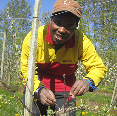 Rorisang Moliko grafts apple trees on a sunny day at Willow View Farms. From Lesotho, Rori is in Canada with MCC's International Volunteer Exchange Program, learning new skills that he'll take home with him. Photo: Cheryl Siemens